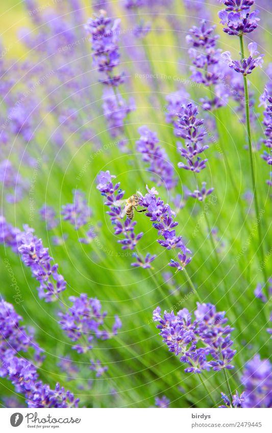 Lavendelhonigproduktion Pflanze Tier Sommer Schönes Wetter Blüte Nutzpflanze Lavendelfeld Lavendelblüten Feld Nutztier Biene 1 Blühend Duft ästhetisch