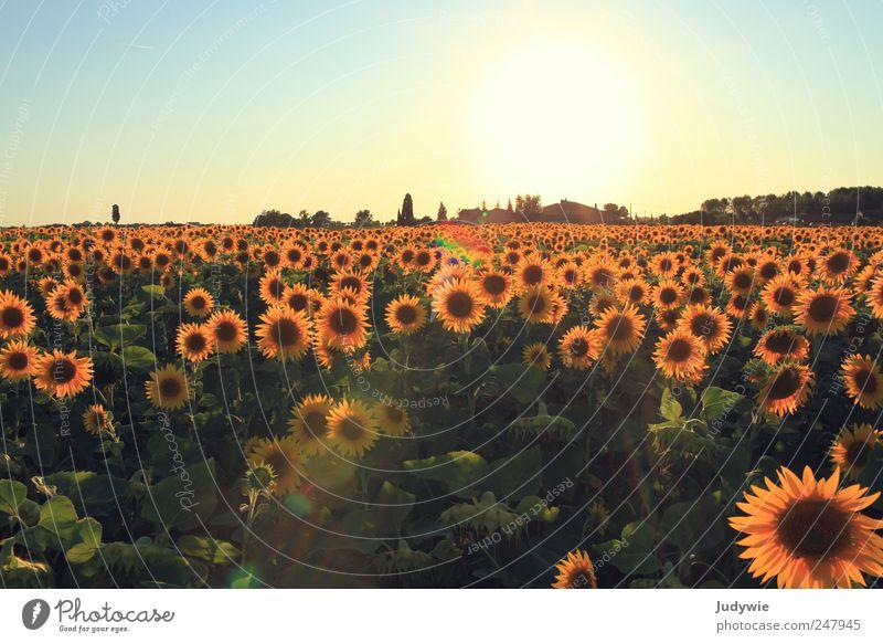 Blumige Aussichten Sommer Sommerurlaub Umwelt Natur Landschaft Pflanze Wolkenloser Himmel Schönes Wetter Sonnenblume Sonnenblumenfeld Feld Wachstum natürlich