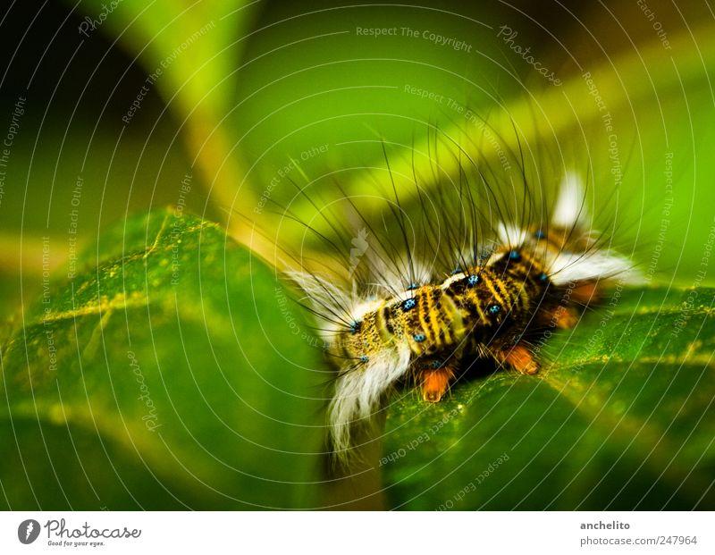 Pre-Metamorphose Haare & Frisuren Wohlgefühl Umwelt Natur Pflanze Tier Blatt Grünpflanze weißhaarig Wildtier Schmetterling Wurm Fell Pfote 1 krabbeln schön blau