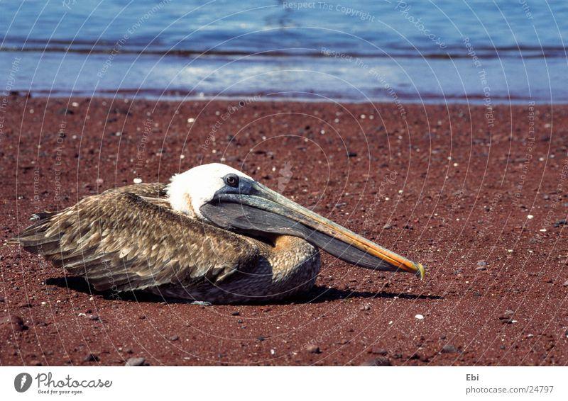 Pelikan Vogel Galapagosinseln