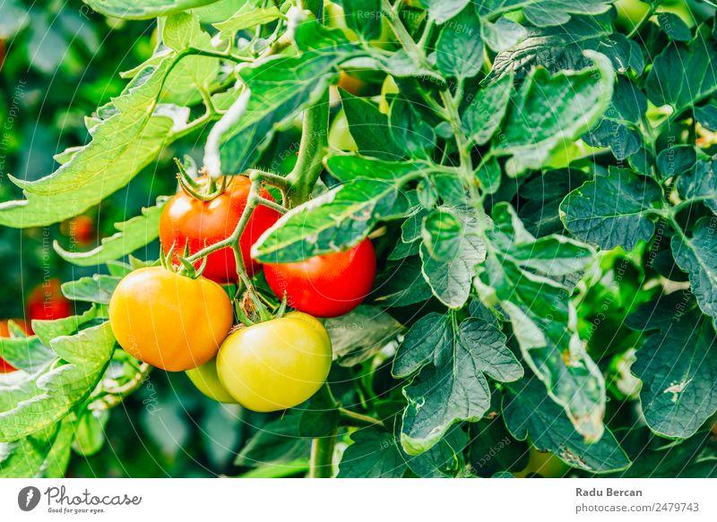 Tomaten, die auf Reben im Gewächshaus wachsen. Kirsche Lebensmittel Hintergrundbild rot Gesundheit organisch roh Nahaufnahme grün klein Gemüse Zutaten