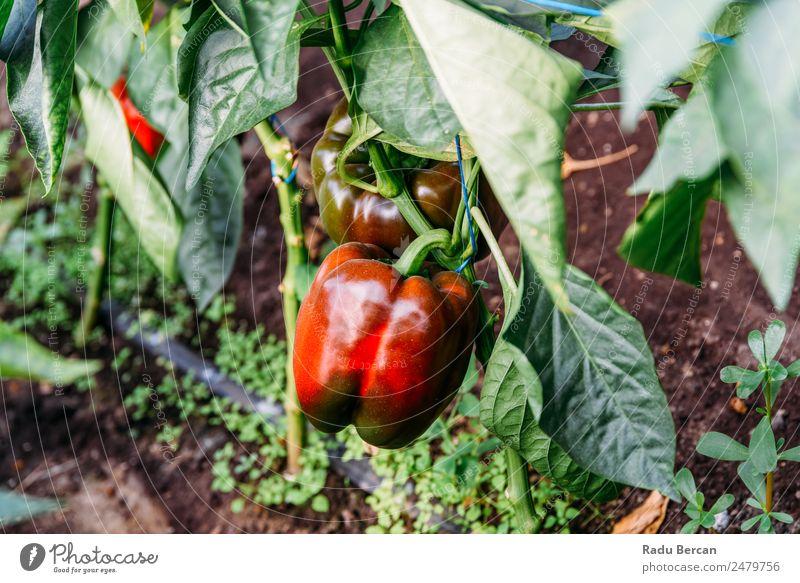 Paprika Capsicum wächst im Gewächshaus Pfeffer Wachstum Bauernhof Pflanze süß grün Natur rot Landwirtschaft Gesundheit Glocke organisch Lebensmittel Garten