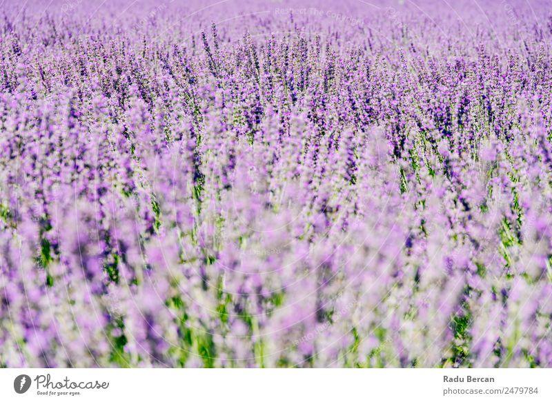 Violettes Lavendelfeld im Sommer Feld Provence Blume Duftveilchen purpur schön Landschaft Natur Hintergrundbild Überstrahlung aromatisch Beautyfotografie
