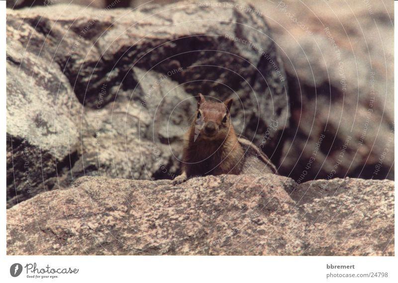 Squirrel Natur Stein Neugier Eichhörnchen
