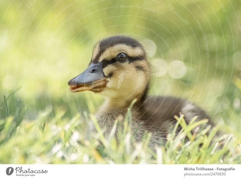 Kleines Entenküken im Gras Natur grün Sonne Erholung Tier ruhig Tierjunges gelb Wiese klein Vogel orange liegen Wildtier Schönes Wetter