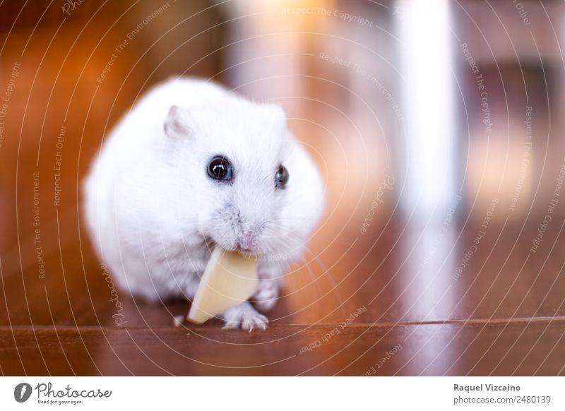 Der kleine weiße Hamster isst ein Stück Käse. Tier Haustier Maus 1 Diät Essen braun Freude Appetit & Hunger Vertrauen Farbfoto Innenaufnahme Dämmerung