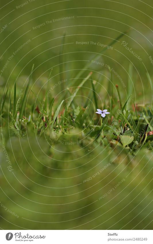 ein kleines Blümchen blüht auf einer Graswiese Blume Wiesenblume alleine einsam kleine Blume blühende Wildblume blühende Wildpflanze Blüte Grasbüschel Weide