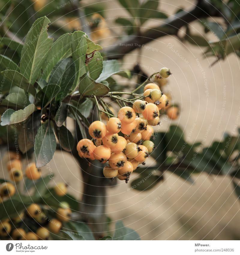 Vogelbeeren Beeren orange Blatt Sträucher Baum Frucht Ast Nahaufnahme Vitamin Gift