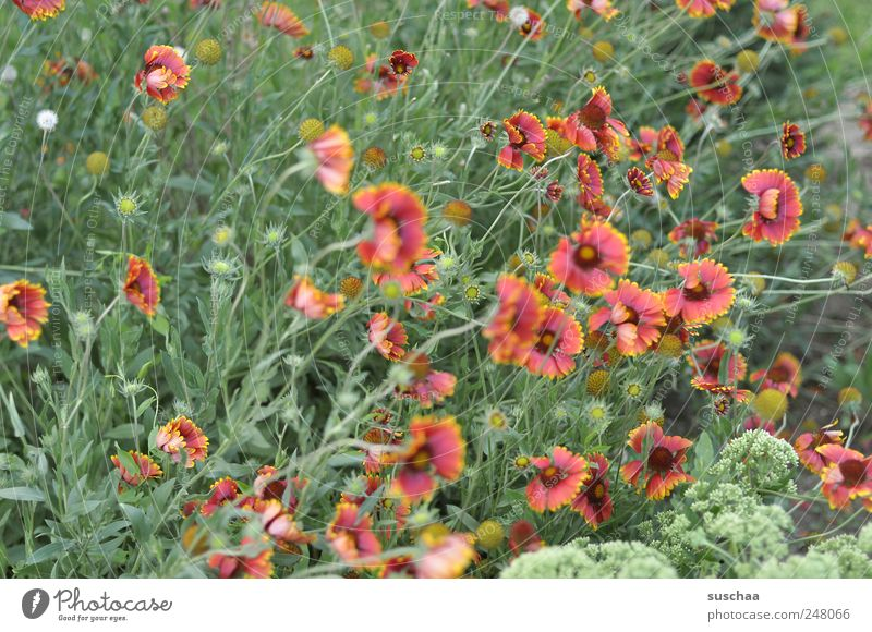 noch schnell ne schöne blumenwiese .. und Natur grün rot Pflanze Sommer Blume Blatt Farbe Umwelt Wiese Gras Frühling Garten Blüte Wind