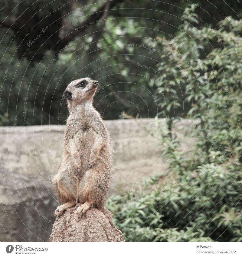Hochsitz Erdmännchen Tier 1 Felsen Wildtier Fell Aussicht süß sitzen Zoo beobachten Textfreiraum rechts weich Pelzmantel Pelztier