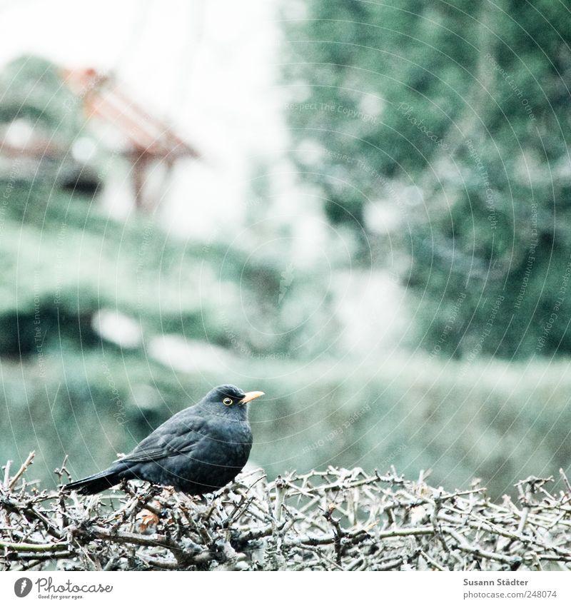Amselchen. Natur Garten Regen Vogel warten Wildtier Sträucher hören Jagd dick Hecke Einfamilienhaus