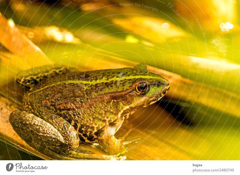 Seefrosch Natur Tier Wildtier Frosch 1 sitzen Amphibie Fauna Deutschland sitzt Nahaufnahme grün braun Farbfoto Außenaufnahme Menschenleer Textfreiraum oben