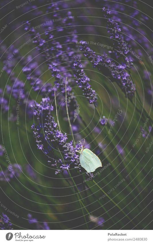 #A# Lavendel Flug Kunst ästhetisch Wind Blühend violett Frankreich Schmetterling wehen Schmetterlingsblütler Provence Lavendelfeld Lavendelernte