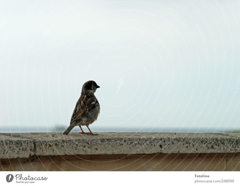 Liegt da hinten ein Krümel??? Umwelt Natur Tier Wildtier Vogel natürlich Spatz Metallfeder gefiedert Schnabel Mauer Farbfoto Gedeckte Farben Außenaufnahme