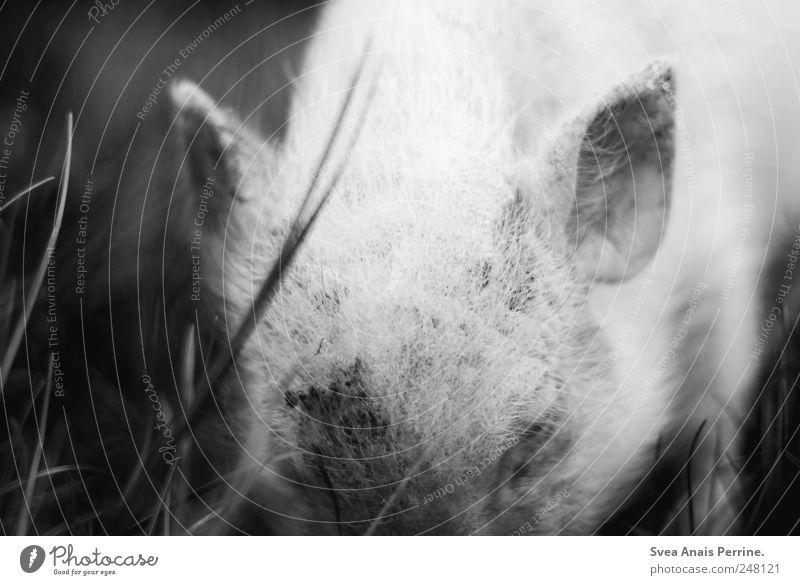 schweinchen. Tier Wiese Gefühle dreckig Zoo Schwein Nutztier Borsten Ferkel