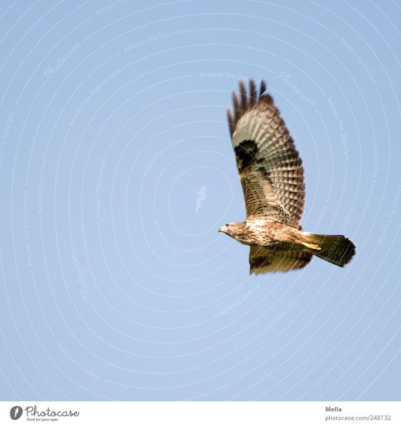 Bussard Himmel Natur Tier Freiheit Umwelt Bewegung Luft Vogel fliegen groß frei ästhetisch natürlich Feder Flügel Greifvogel