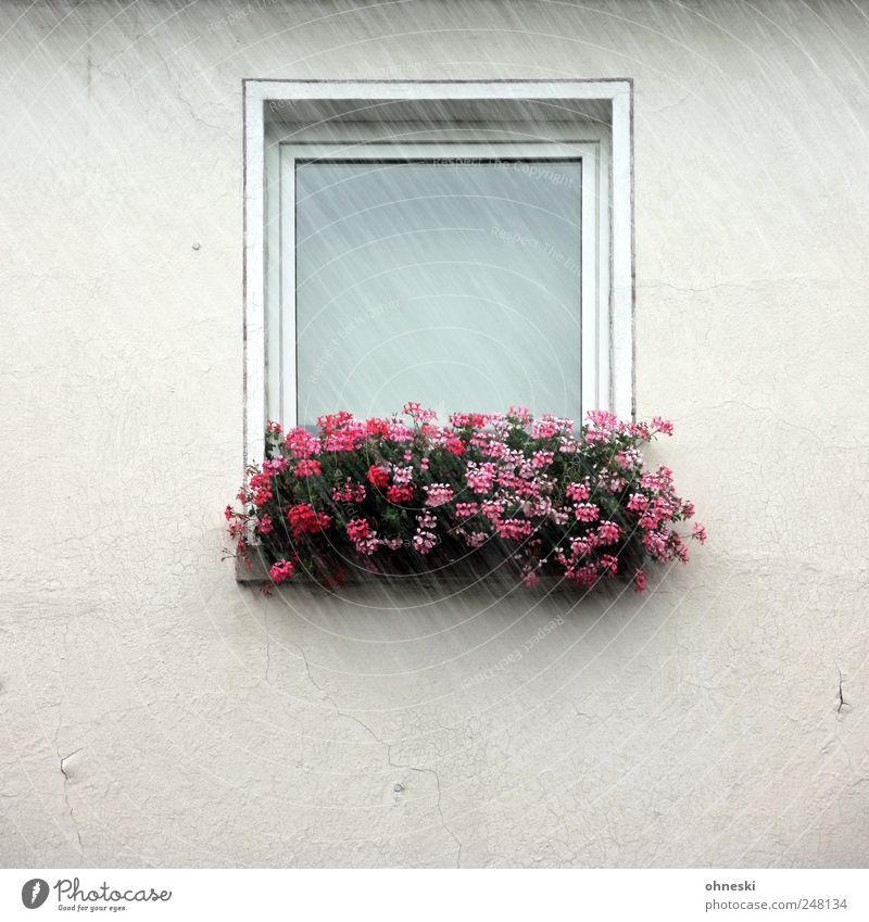 Es regnet Blume Haus Wand Fenster Blüte Mauer Regen nass rosa Fassade trist schlechtes Wetter Einfamilienhaus Balkonpflanze