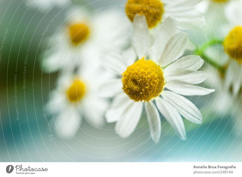 Kamille Pflanze Blume Blüte ästhetisch gelb weiß elegant Gelassenheit Zufriedenheit Idylle Leben Natur und Farbfoto Außenaufnahme Menschenleer