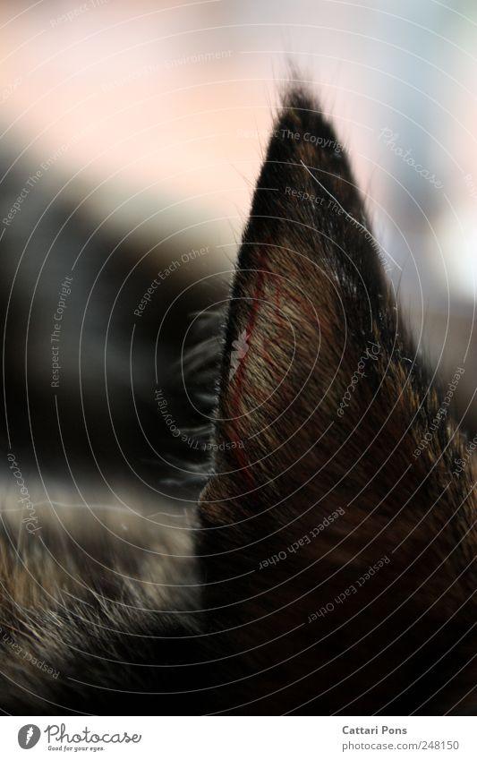 Katzenohr Tier Katze liegen natürlich Ohr Ohr nah dünn Fell hören Haustier kuschlig Gefäße Körperteile Gehörsinn