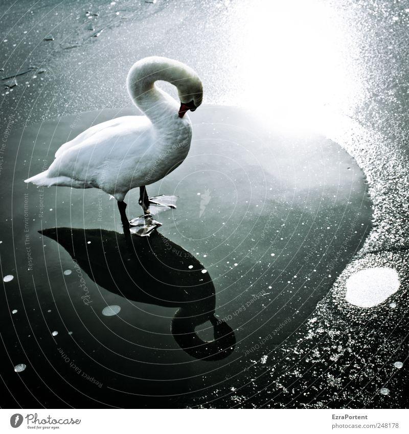 Swan Mirror Natur Landschaft Tier Wasser Sonnenlicht Winter Schönes Wetter Eis Frost Seeufer Wildtier Vogel Schwan 1 frieren glänzend leuchten stehen warten