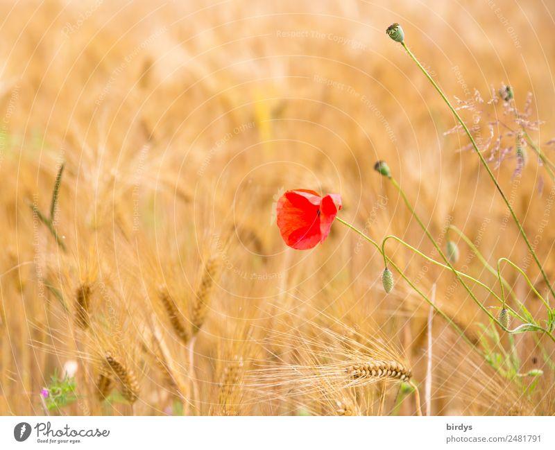Mohnblume im Getreidefeld Natur Sommer schön Farbe grün rot ruhig gelb Feld Wachstum ästhetisch Schönes Wetter Blühend Warmherzigkeit Freundlichkeit