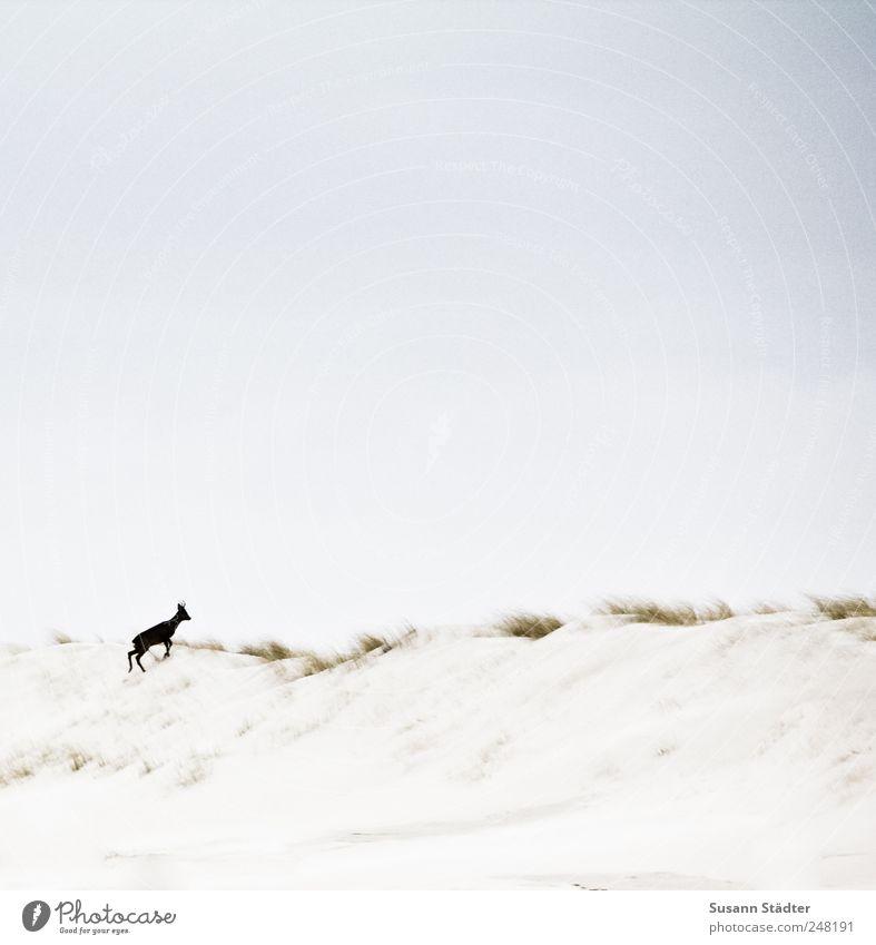 Spiekeroog   Wildnis Pflanze Tier Sand Nordsee Insel Wildtier Fährte 1 Tierjunges Reh Rehkitz Stranddüne Freiheit Dünengras laufen flüchten Außenaufnahme Tag
