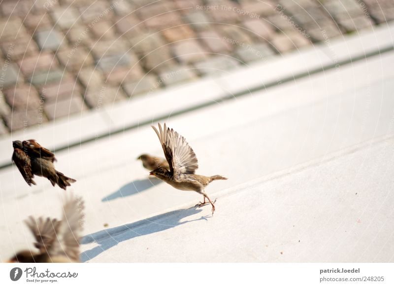 dividing sparrows from the nightingales Umwelt Erde Platz Treppe Straße Tier Wildtier Vogel Flügel Spatz 4 Stein Beton Linie fliegen niedlich braun grau Angst
