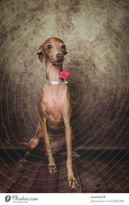 Studio-Porträt des kleinen italienischen Windhundes. Glück schön Freundschaft Natur Tier Haustier Hund Freundlichkeit Fröhlichkeit lustig niedlich braun