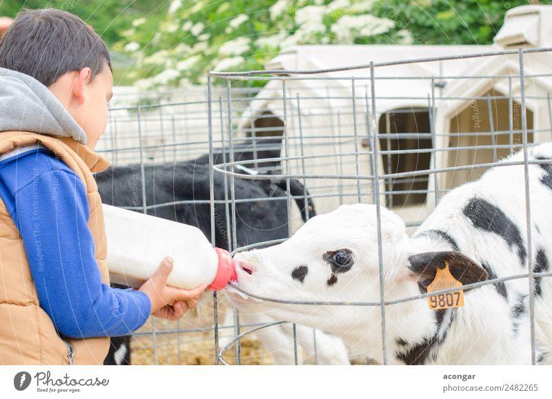 Kleine Babykuh füttert aus der Milchflasche. Flasche Kind Junge Tier Nutztier Kuh 1 füttern landwirtschaftlich Ackerbau Wade Landwirt Futter horizontal