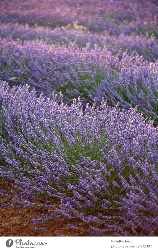 #A# Lavendelsonne Umwelt Natur Landschaft ästhetisch Lavendelfeld Lavendelernte Frankreich Provence violett Feld Landschaftsarchitektur Blühend