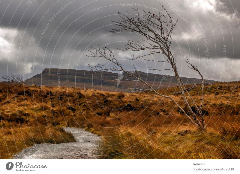 Einzelner kahler Baum im schottischen Hochland Landschaft Wiese Feld orange Laubbaum Herbst herbstlich Hochebene Schottland Berge u. Gebirge Hügel Grasland