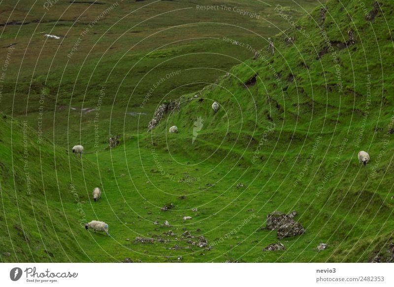 Schafe weiden auf einem Hügel auf der Isle of Skye in Schottland grün Tier Berge u. Gebirge Wildtier Insel Tiergruppe Landwirtschaft viele Weide Tal