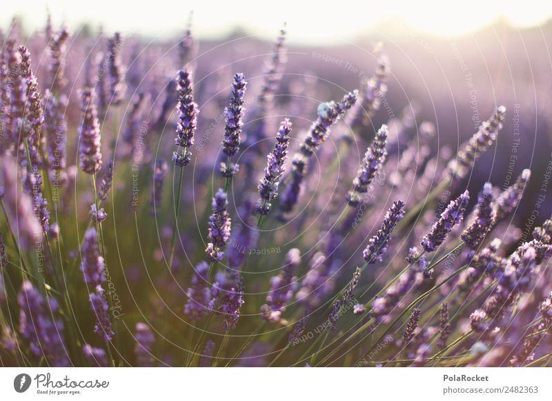 #A# Lavendel Sonne Umwelt Natur Landschaft Pflanze ästhetisch Lavendelfeld Lavendelernte Frankreich Provence violett Blühend Blühende Landschaften viele Duft