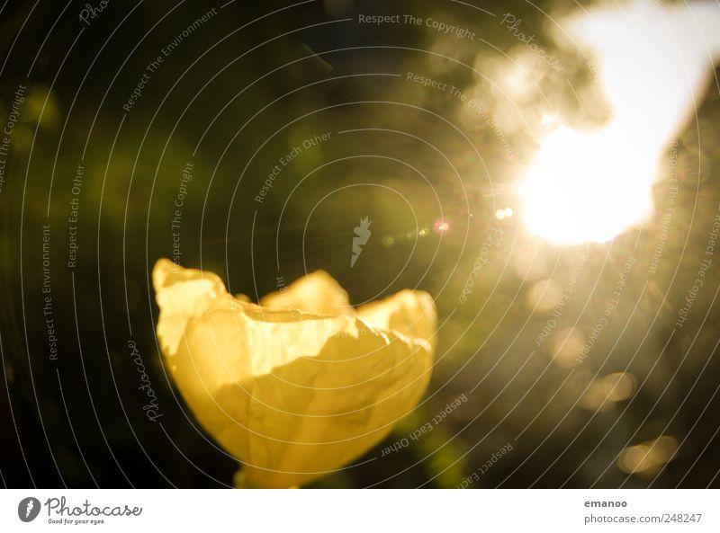 golden flower Natur Pflanze Sommer Blume Landschaft gelb Wärme Frühling Park Wetter leuchten Sträucher Rose Tulpe exotisch