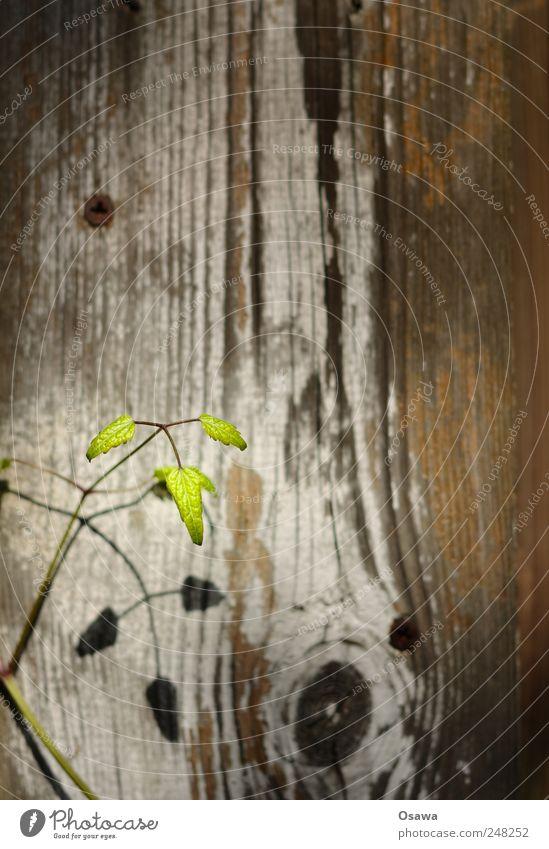 Pflänzchen Pflanze Blatt grün Zweig Trieb Hintergrundbild Holz Holzbrett Schiffsplanken Zaun Maserung Astloch Schatten Schlagschatten klein zart zerbrechlich
