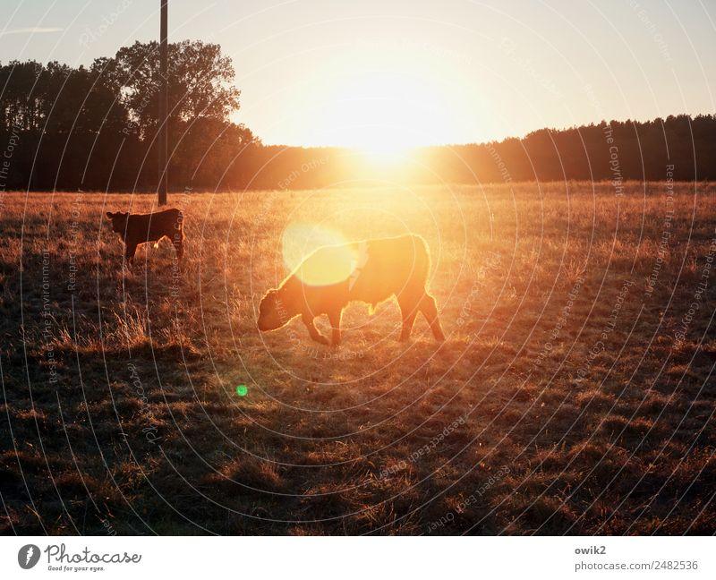 Jungbullen Umwelt Natur Landschaft Pflanze Tier Wolkenloser Himmel Horizont Sonne Sommer Schönes Wetter Wärme Baum Gras Weide Wiese Kalb 2 Fressen leuchten frei