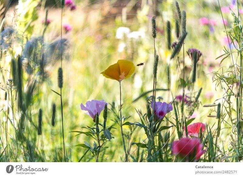 Biene Natur Pflanze Sommer Schönes Wetter Blume Gras Blatt Blüte Mohn Garten Wiese Honigbiene Insekt 1 Tier Blühend Duft fliegen schön mehrfarbig Stimmung
