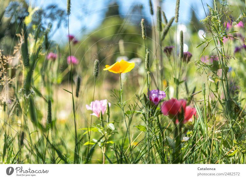 Es war einmal Natur Pflanze Himmel Sommer Schönes Wetter Blume Gras Blatt Blüte Wildpflanze Wiesenblume Mohnblüte Gräserblüte Garten Blühend Duft Wachstum blau