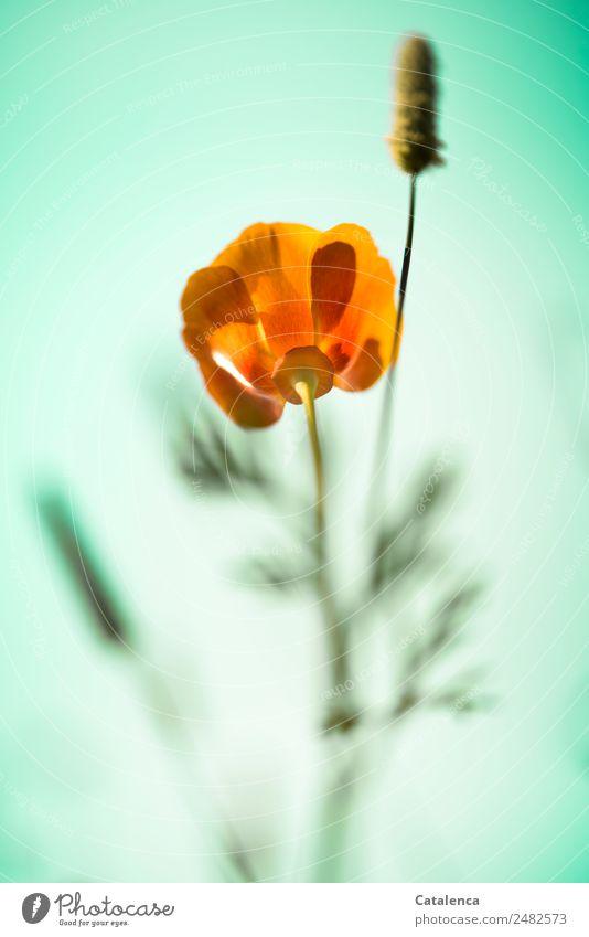 Wieder ein Mohntag Natur Pflanze Himmel Wolkenloser Himmel Sommer Blume Gras Blatt Blüte Wildpflanze Mohnblüte Klatschmohn Gräserblüte Garten Wiese Blühend