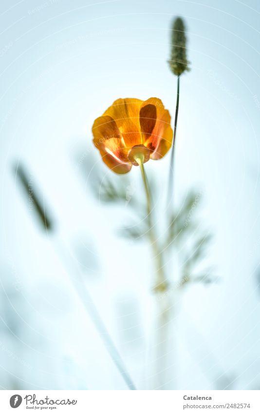 Mohnblüte aus der Froschperspektive Natur Pflanze Himmel Sommer Blume Gras Blatt Blüte Gräserblüte Garten Wiese Blühend verblüht schön blau grün orange Stimmung
