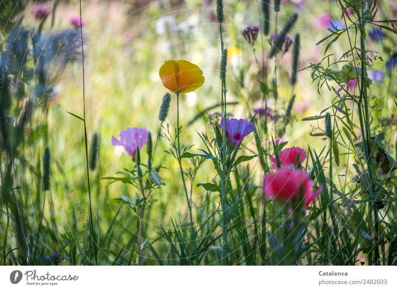 Ein Kessel Buntes | Wiesenblumen Natur Pflanze Sommer Blume Gras Blatt Blüte Mohnblüte Gräserblüte Malvengewächse Garten Blühend Duft Wachstum historisch