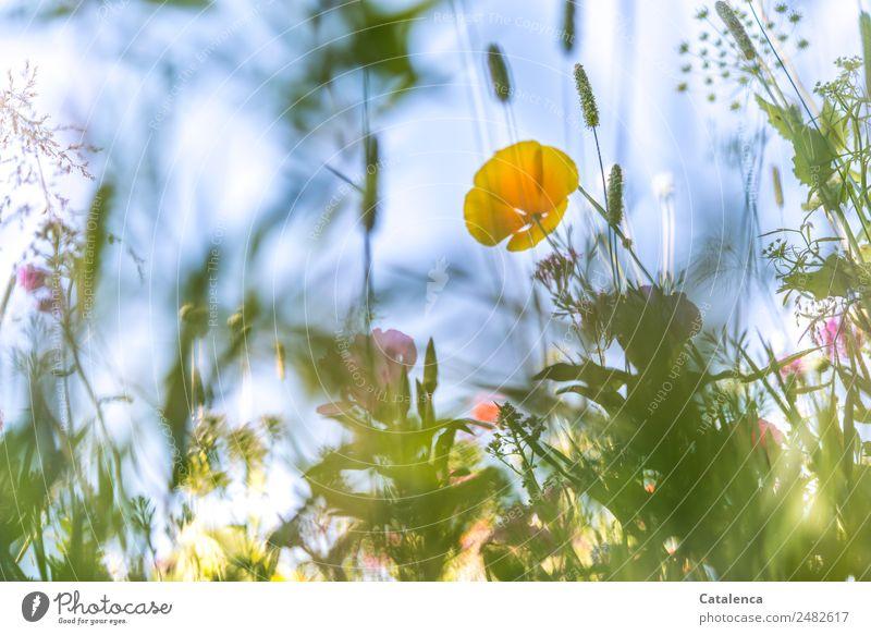 Gelbblauer Montag Natur Pflanze Himmel Sommer Schönes Wetter Blume Gras Blatt Blüte Grünpflanze Wildpflanze Gräserblüte Mohnblüte Wiesenblume Garten Blühend