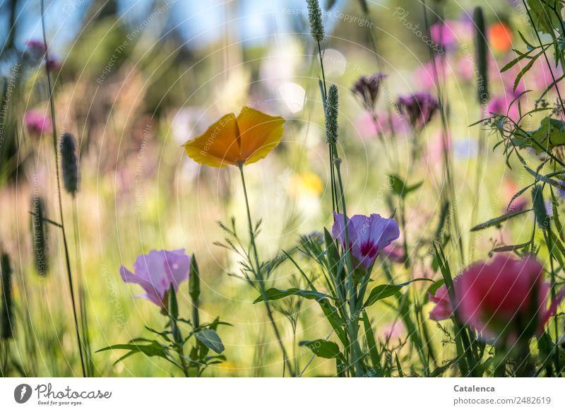 Bunte Blumenmischung Natur Pflanze Himmel Sommer Schönes Wetter Gras Blatt Blüte Wiesenblume Mohn Gelber Mohn Feld Duft Wachstum schön blau gelb grün violett