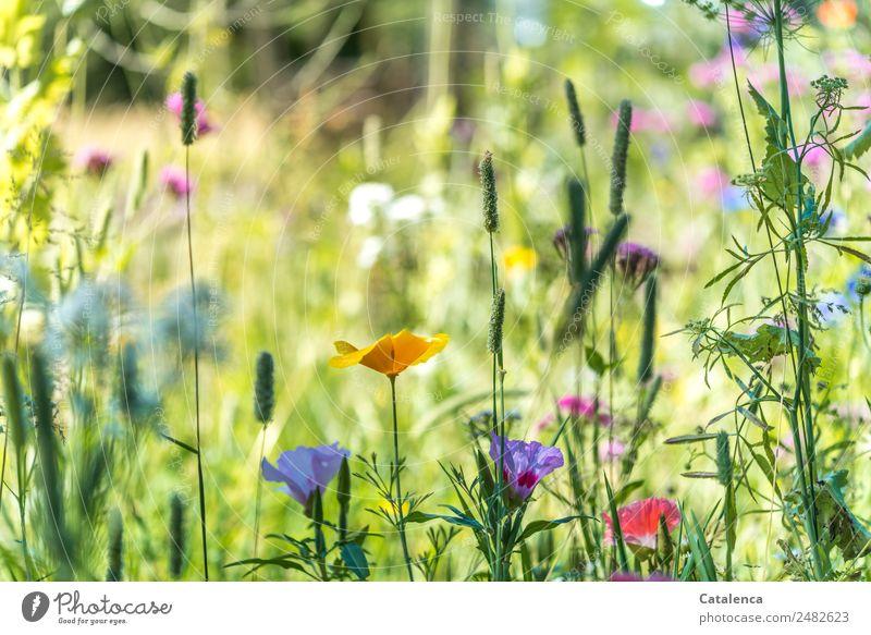 Sommer Natur Pflanze Blume Blatt Blüte Wildpflanze Wiesenblume Gras Gelber Mohn Malvengewächse Blühend Duft verblüht Wachstum frisch schön wild mehrfarbig grün