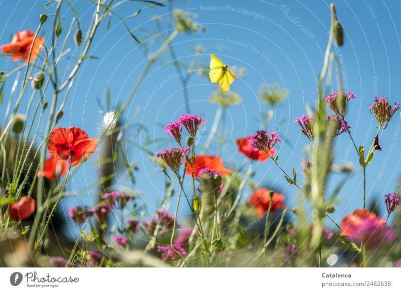 Zitronenfalter Himmel Natur Sommer blau Pflanze schön Blume Tier Blatt gelb Blüte Wiese Gras Garten orange rosa