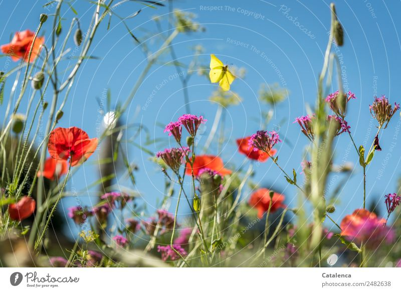 Zitronenfalter Natur Pflanze Tier Himmel Sommer Schönes Wetter Blume Gras Blatt Blüte Wildpflanze Wiesenblume Klatschmohn Phlox Garten Schmetterling Insekt 1
