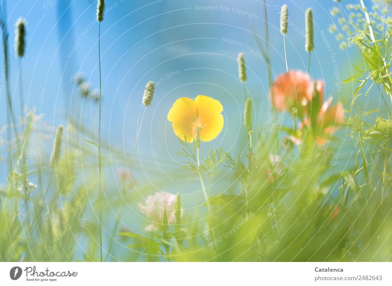 Gelbe Mohnblüte aus der Froschperspektive Natur Sommer blau Pflanze schön grün Blume Blatt gelb Blüte Wiese Gras Garten rosa Stimmung Design