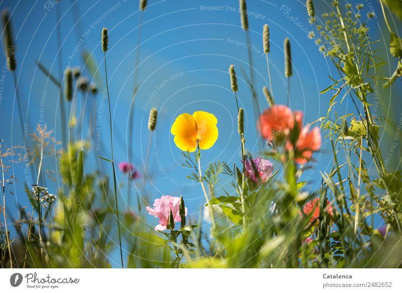 Blumenwiese mit gelber Mohnblüte Natur Sommer Pflanze blau schön grün Blatt Freude Blüte Wiese Gras Garten rosa Stimmung