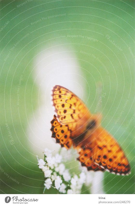 Papillon grün Pflanze Blume Tier Wiese fliegen frei natürlich Flügel weich nah analog Schmetterling Verliebtheit zerbrechlich Schüchternheit