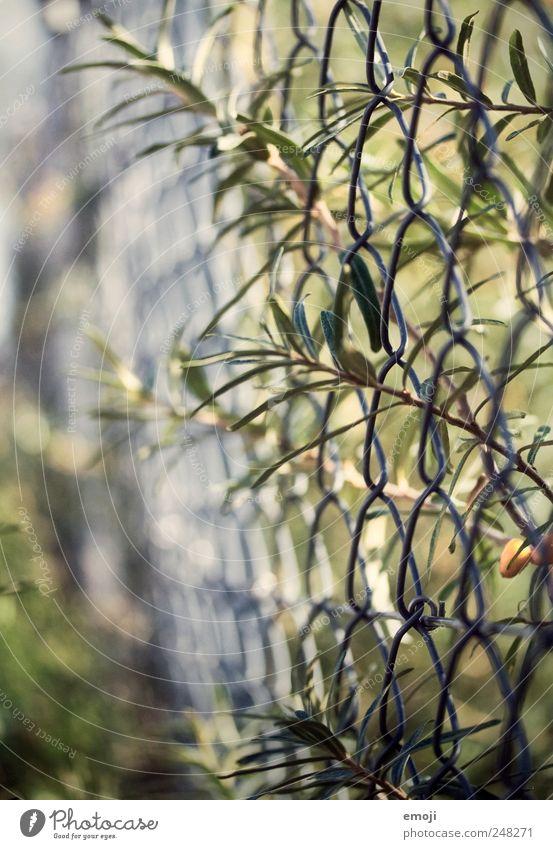 Geflecht Natur Pflanze Sommer Schönes Wetter Sträucher Garten natürlich grün Hecke Zaun Maschendrahtzaun Drahtzaun Farbfoto Außenaufnahme Nahaufnahme